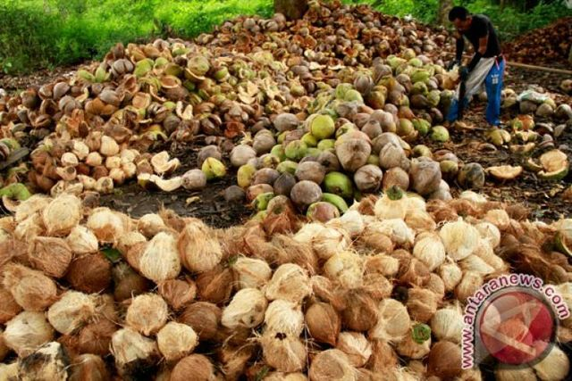 Indonesia earns US $899.47 million from coconut exports